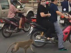 Обезьяна запрыгнула на мотоцикл, чтобы украсть пакет с фруктами