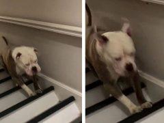 Бульдог, скачущий по лестнице, случайно создал оптическую иллюзию
