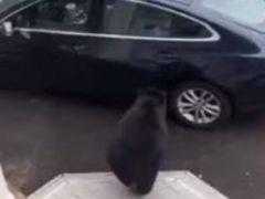 Медведь, научившийся справляться с дверями, влез в автомобиль