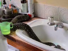 Питон, поселившийся на крыше дома, впоследствии переехал в ванную комнату