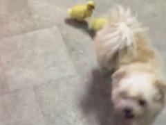 Утята уверены, что собака является их мамой