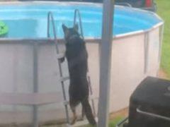 Чтобы купаться в бассейне, умный пёс научился пользоваться лестницей
