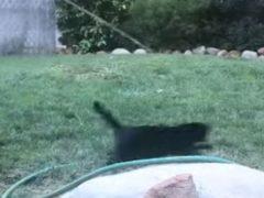 Кошка считает поливочный шланг лучшей игрушкой