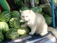 Сварливый кот вот уже несколько лет работает на арбузной ферме