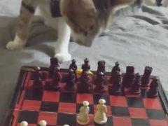 Кошка, играющая в шахматы, не ознакомилась с правилами