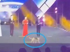 Сценический дебют собаки оказался непродолжительным