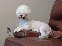 Пёс, укусивший грумера, получил не слишком красивую стрижку