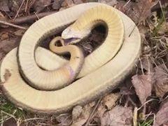 Чтобы от неё отстали, змея готова мастерски притвориться мёртвой