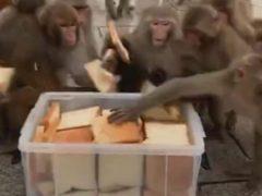 Обычный хлеб показался обезьянам изысканным угощением