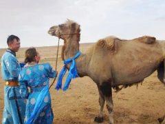 Проданный верблюд проделал долгий путь, чтобы вернуться домой