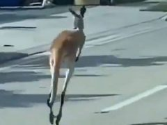 Полицейским удалось поймать кенгуру, оказавшегося дружелюбным