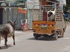 Бык погнался за грузовиком, увозящим его лучшую подругу