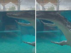 Крокодил продемонстрировал странную манеру плавания