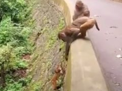 Детёныш обезьяны убедился, что мама всегда придёт ему на помощь