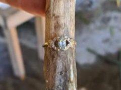 Кольцо, потерянное девочкой, нашлось благодаря чесноку