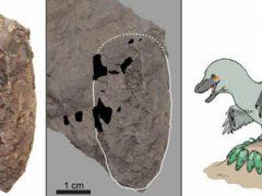 Исследователи обнаружили рекордно маленькое яйцо динозавра