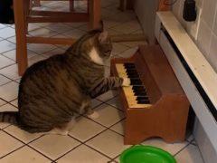 Кот садится за пианино всякий раз, когда хочет внимания