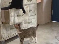 Хулиганистый кот поймал родную сестру в ловушку