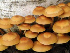 Как отличить съедобный гриб от ядовитого двойника? ИНФОГРАФИКА