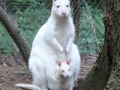 Маленького кенгуру-альбиноса украли из зоопарка