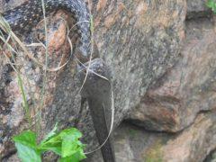 Змеи потратили полчаса на борьбу из-за рыбы, которая в итоге спаслась