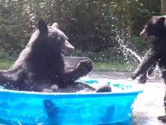 Медведица приводит детёныша купаться в детском бассейне