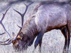 Умирающий лось жестоко отомстил охотнику
