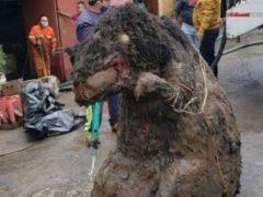 Рабочие, чистившие канализацию, чуть не разбежались в ужасе при виде «гигантской крысы»