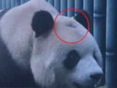 Ветеринарам пришлось лечить панду, по неизвестной причине начавшую лысеть