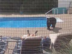 Бесцеремонный мишка разбудил домовладельца, дремавшего у бассейна