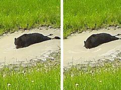 Медведь умеет не только купаться в грязной луже, но и пускать пузыри