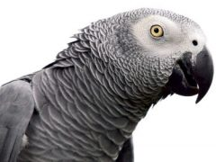 Компанию попугаев разделили из-за нецензурной лексики