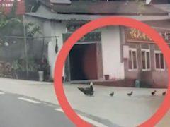 Утка напала на добрячку, пытавшуюся помочь утятам