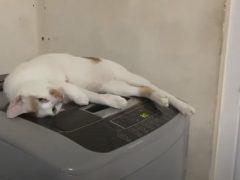 Стиральная машина оказалась вполне пригодна для кошачьего массажа