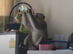 Вороватая обезьяна удачно воспользовалась открытой балконной дверью