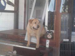 Пёс, которого кормили человеческой едой, растолстел и застрял в двери