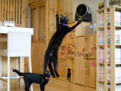 Открыв необычное кафе, женщина поселила там чёрных кошек