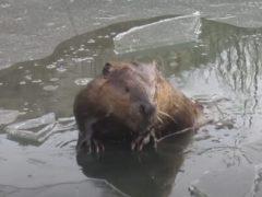 Бобр занялся подлёдным плаванием