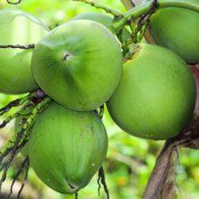 Студентам разрешили оплачивать обучение кокосовыми орехами