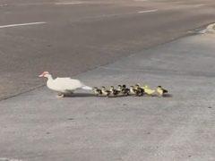 Утки, переходившие дорогу, оказались на редкость везучими