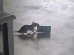 Крыса, укравшая банку из-под кофе, заодно показала забавное шоу с прыжками