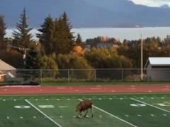 Спортивный лось показал, как нужно играть в футбол