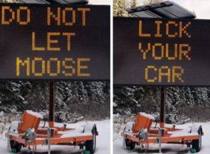Водителей призывают не позволять лосям лизать автомобили