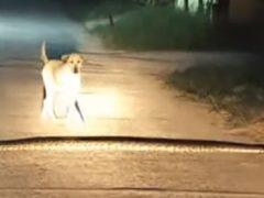 Невнимательная собака наступила на питона
