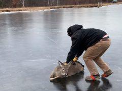 Чтобы спастись, оленю пришлось покататься по льду