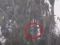 Сильный ветер не помешал коале выспаться на раскачивающемся дереве