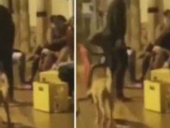 За собаку, которую попытались пнуть, отомстило кармическое воздаяние