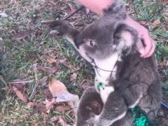 Неловкая коала запуталась в ограждении, но получила своевременную помощь