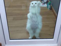 Кошка, жаждущая внимания, готова показать странное шоу