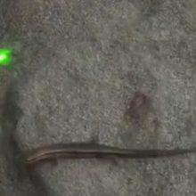 Лазерная указка пригодилась для игры с ящерицей